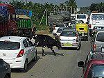 Eine Kuh im Straßenverkehr